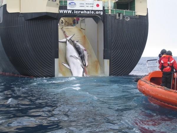 Le Japon relance sa chasse à la baleine